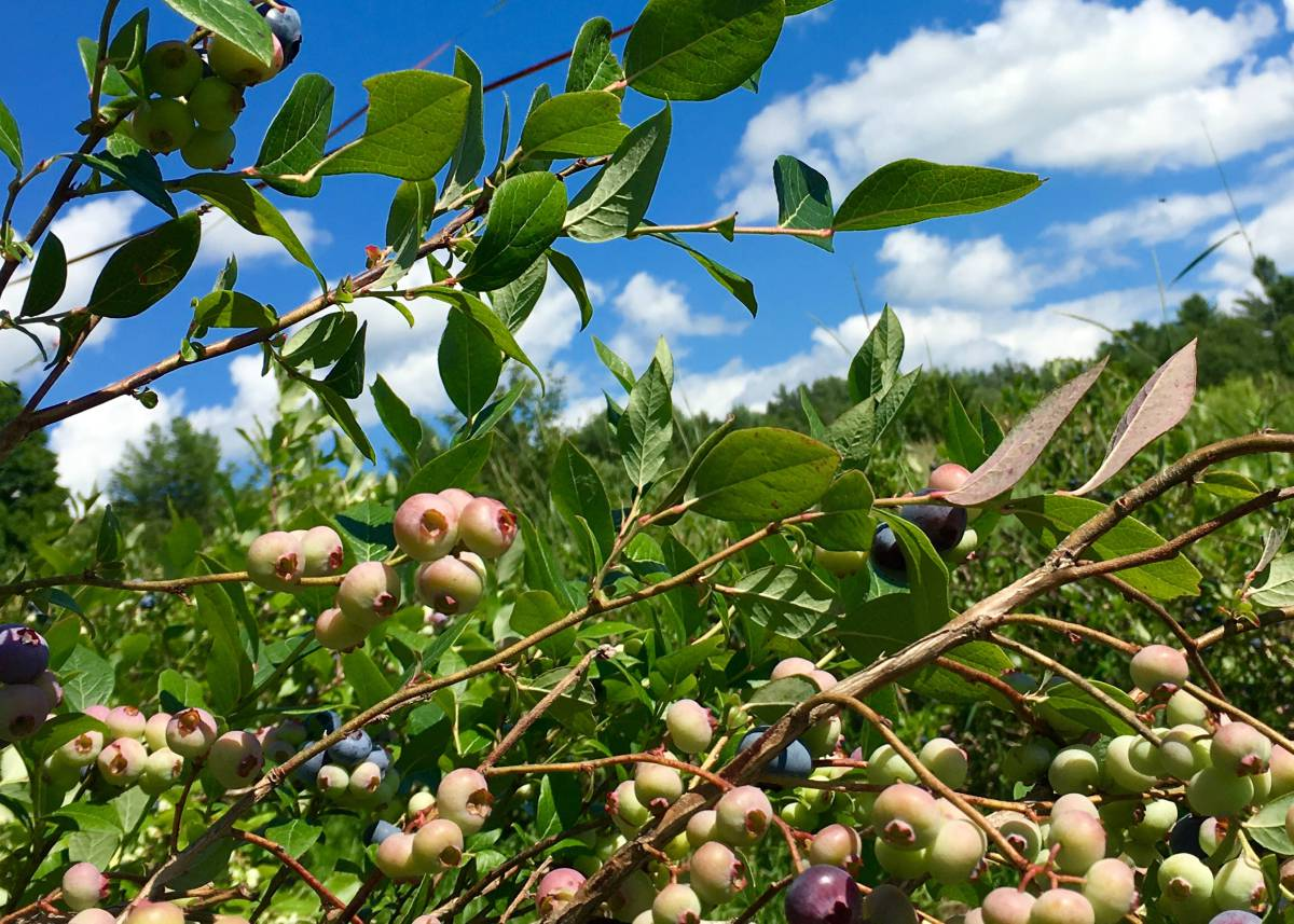 Blueberry Season is Coming!